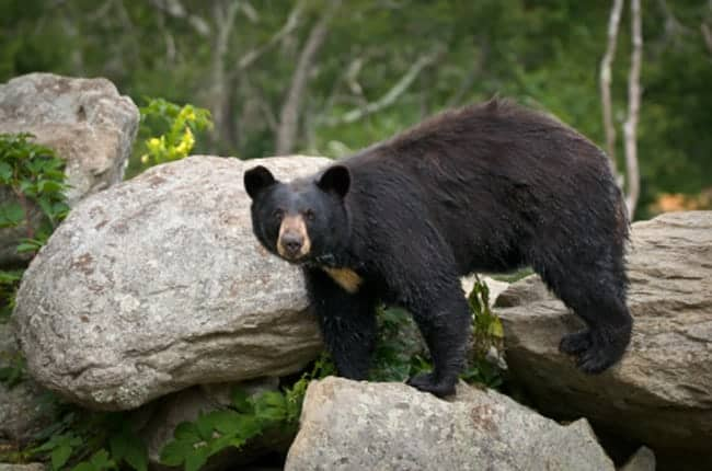 a black bear standing on boulders in the Great Smoky Mountains National Park