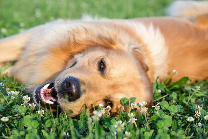 Happy golden dog lying a field of clover