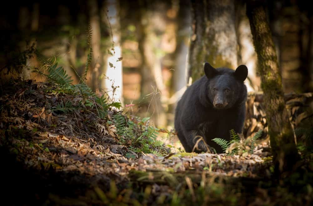 Black bear walking through the mountains