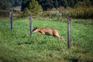 deer going through a fence